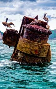 Pelicans at Wreck